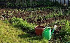 Distanta de plantare la legume. Cum puneti cele mai utile legume in gradina Plantar, Mai, Gardening, Agriculture, Lawn And Garden, Urban Homesteading, Horticulture