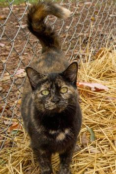 Meet Scarlett, an adoptable Domestic Short Hair looking for a forever home. If you're looking for a new pet to adopt or want information on how to get involved with adoptable pets, Petfinder.com is a great resource.
