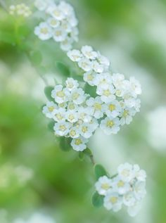 Veiled flowers by Miki Asai Love Flowers, Beautiful Flowers, White Flowers, Dandelion Clock, Bokeh Photography, Flower Photography, Happy Paintings, White Gardens, Flower Images