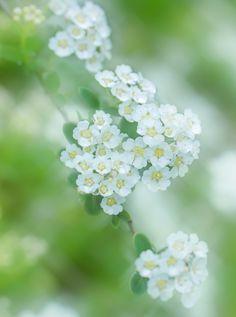 Veiled flowers by Miki Asai Bokeh Photography, Fine Art Photography, Flower Photography, Love Flowers, Beautiful Flowers, White Flowers, Dandelion Clock, Happy Paintings, White Gardens