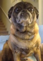 Emily is an adoptable Pug Dog in Denver, CO. Hi! My name is Emily. You can also call me Emmy, EmmyLou, or LuLu; I respond to them all. I consider myself a very unique-looking pug. I may look a little ...