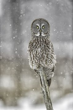 Owl in the snow.