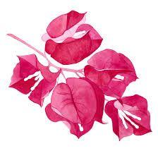 Resultado de imagen para bougainvillea illustration