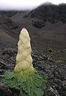 Rheum nobile, the Noble rhubarb or Sikkim rhubarb, is a giant herbaceous plant native to the Himalaya, and is an extraordinary species of rhubarb (genus Rheum).  Order:	Caryophyllales Family:	Polygonaceae Genus:	Rheum Species:	R. nobile