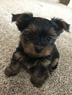 The Traits I Enjoy About The Sprightly Yorkshire Terrier Dogs Yorkshireterrierchile Yorkshireterr Yorkshire Terrier Puppies Yorkshire Terrier Dog Yorkie Dogs