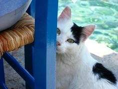 Cat by Michelos - looks like Snowball with the jaunty 'beret' and black spot
