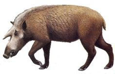 Art illustration - Prehistoric Mammals - Kubanochoerus: is an extinct genus of large and long-legged animals in the pig family from the Miocene of Eurasia. grew to be up 1.2 metres (3.9 ft) at the shoulder, and probably weighed up to 500 kilograms (1,100 lb) in life. The heads of these pigs were unmistakable, with small eyebrow horns, but does have roughly the same proportions as the Entelodont. .