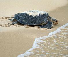 ) Sea Turtle Return