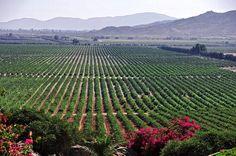 ¿Sabías que en la Ruta del Vino del Valle de Guadalupe se produce el 90% de los vinos mexicanos? El bondadoso clima de esta región ha permitido la creación de importantes desarrollos gastronómicos como lo es la cocina estilo Baja-Med, que es una mezcla de comida mexicana con influencias del Mediterráneo. —