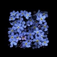 Paul Kenny celebrates the transience of beauty in his latest jewel like series 'O Hanami' - wayneford's posterous Birth Flowers, Nature Plants, Forget Me Not, Texture Art, Color Photography, Shades Of Blue, Beautiful Flowers, Beautiful Bouquets, Flower Power