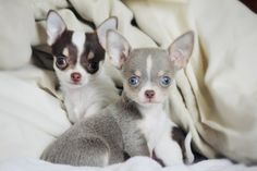 Those EYES!  Oh my gosh, I want both of them. So gorgeous, aren't they? www.bluechihuahua.net
