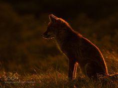 Fox in Sundown by Rob_Janne