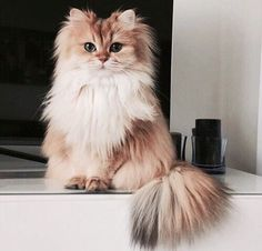 Fluffy cat breeds are some of the most popular, furry cats can be found in white, black, grey and even Siamese coloring. Love to cuddle soft,?
