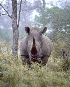 Africa | White rhino, Kruger National Park, South Africa | © Jim Zuckerman