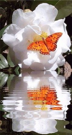 GIF butterfly on flower reflection Papillon Butterfly, Butterfly On Flower, Butterfly Kisses, Orange Butterfly, Beautiful Butterflies, Beautiful Birds, Belle Photo, Beautiful Creatures, Mother Nature