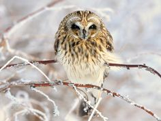 Short-eared owl. Very cold.