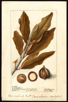 Artist: Passmore, Deborah Griscom, 1840-1911 Macadamia ternifolia Macadamia 1904