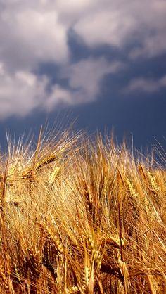 Wheat iPhone 5 Wallpaper