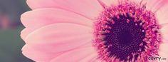 Pink Gerbera Daisy facebook cover