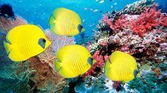 Zvířata tapeta č.: 55672 | podmořský svět, korály, rybky, moře, ryby