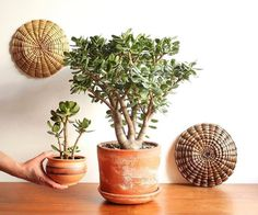What is the crassula ovata succulent plant? Come inside and find out what makes this succulent so unique. How did it get its name, the Jade Plant? Crassula Ovata, Crassula Succulent, Succulent Tree, Types Of Succulents, Planting Succulents, Indoor Succulents, Begonia, Jade Plant Care, Feng Shui