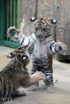 Baby Tigers. Reminds me of Nadia and Anna when they were cubs. That was the first animal I ever had that kind of instant bond with.
