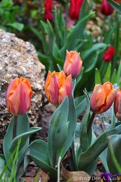 Tulipa Prinses Irene growing very low. The stems will lengthen some, but its not very pretty now.