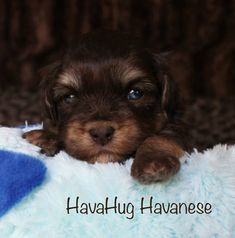Beautiful Chocolate & Tan Havanese Puppy.   www.havahughavanese.com Havanese Puppies, Puppys, Photo Galleries, Chocolate, Gallery, Dogs, Cute, Animals, Beautiful