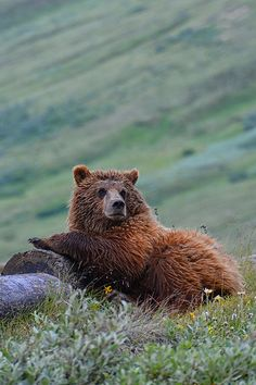 Lounging Grizzly