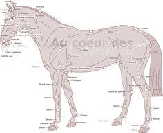 Récapitulatif de la morphologie du cheval
