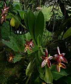 Bulbophyllum Phalaenopsis   Name: P1150396.JPGViews: 1412Size: 252.4 KB