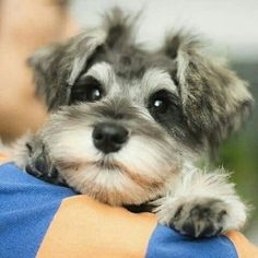Ranked as one of the most popular dog breeds in the world, the Miniature Schnauzer is a cute little square faced furry coat. It is among the top twenty favorite Miniature Schnauzer Puppies, Schnauzer Puppy, Schnauzers, Schnoodle Puppy, Yorkie, Cute Puppies, Cute Dogs, Dogs And Puppies, Doggies
