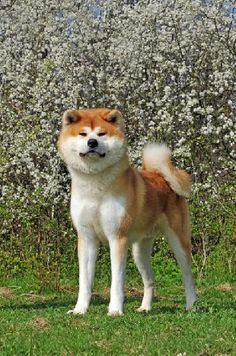 Akita-known to be very loyal and a good dog for a family.  Would love to have an Akita in the future