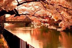 cherry blossoms~Sakura