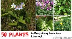 Toxic plants can easily wipe out all animals on your survival farm, or make milk inedible. Keep away from your livestock these 50 harmful plants! Raising Goats, Raising Chickens, Harmful Plants, Goat Care, Plant Information, Veg Garden, Urban Farming, Chickens Backyard, Survival Prepping