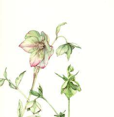 Silvia Molinari - ELLEBORO. acquerello su carta intelaiata, 30x30 cm, anno 2008