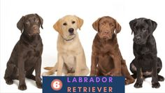 Labrador Retriever Breeds, Dog Breeds