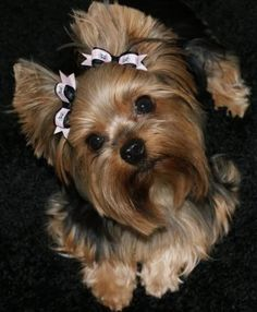 ... Yorkies, Yorkshire Terrier, Friends Yorkies, Yorkie Hairstyle, Hair