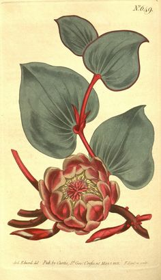 Heart-Leaved Protea from 1815 Curtis Botanical Magazine Red, Orange Highly Decorative Prints