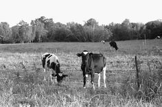 Cows | Kate Uhry photography