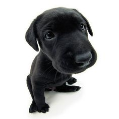 Artlist Collection THE DOG (Labrador Retriever) — The U.S. has the highest dog population in the world. France has the second highest.