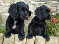 """Figure out more relevant information on """"spaniel dogs"""". Take a look at our internet site. Cute Puppies, Cute Dogs, Dogs And Puppies, Doggies, Spaniel Breeds, Dog Breeds, Hamsters, Black Cocker Spaniel Puppies, Black Springer Spaniel"""