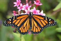 Monarch Butterfly (Danainae)