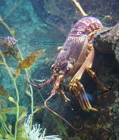 Rise in Rare, Odd-Colored lobsters #Joe'sCrabShack