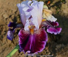 TB Iris germanica 'Megarich' (Blyth, 2012)