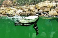 Humboldt Penguin (Spheniscus humboldti). The Humboldt penguin is a South American penguin that breeds in coastal Chile and Peru