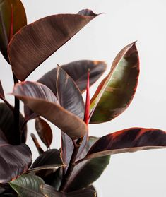 Large Plant Pots, Small Potted Plants, Ivy Plants, Indoor Plant Pots, Ficus Elastica, Shades Of Burgundy, Rubber Tree, Peace Lily, Good To See You
