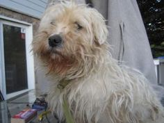 Westie!! is an adoptable West Highland White Terrier Westie Dog in Waterford, MI. ADOPTION EVENT SATURDAY FROM 1-4 AT THE PET SUPPLIES PLUS IN FARMNGTON HILLS ON ORCHARD LAKE RD BETWEEN 13 AND 14 MILE...
