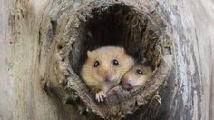 Common Dormouse (Muscardinus avellanarius) at nest opening in tree trunk, Normandy, France (© Gerard Lacz/Visuals Unlimited, Inc.)