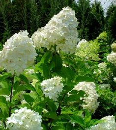 It's impossible to appreciate Limelight Hydrangea until you see it throughout the seasons. The flowers start out a green-white color. As the season goes on, the flowers turn white. And then when you think it's all over, they surprise you with pink tones i